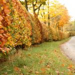 autumn-hedge