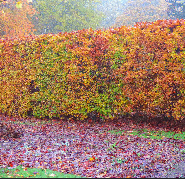 autumn-hedging-care-tips
