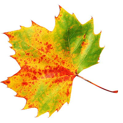 autumn-leaf-2