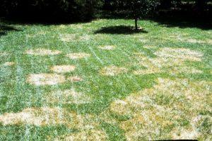 Lawn Brown-Patch-Disease-300x200