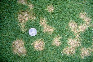 Lawn Dollar Spots