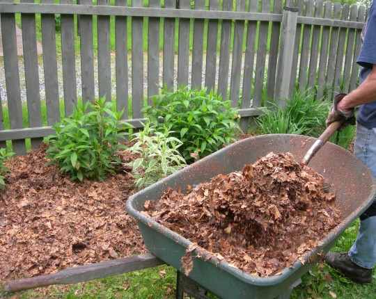 Free mulch from autumn leaves